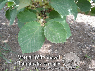 Vernal Witchhazel Leaves