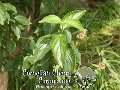 Cornelian Cherry Leaves