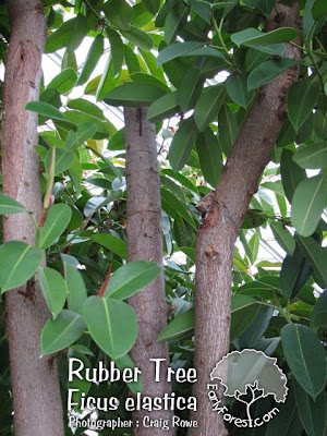 Rubber Tree Bark