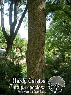 Hardy Catalpa Bark