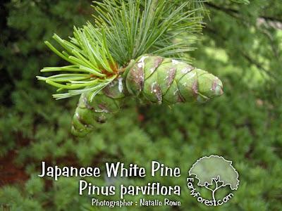 Japanese White Pine Cone