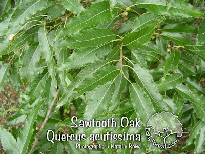 Sawtooth Oak Leaves