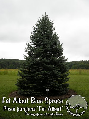 Fat Albert Colorado Spruce