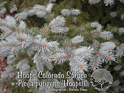 Hoops Colorado Spruce Needles