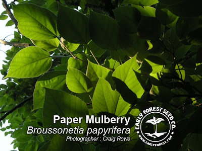Paper Mulberry Leaves