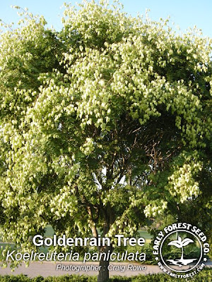 Goldenrain Tree Pods