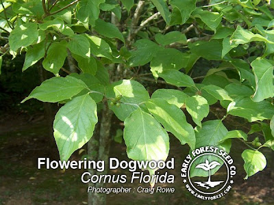 Flowering Dogwood Leaves