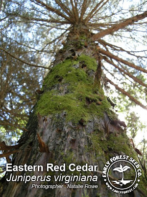 cedar trees pictures. Eastern Red Cedar Tree