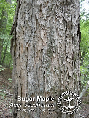 Silver Maple Vs Hard Maple