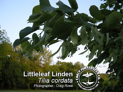 Littleleaf Linden Leaves & Seeds