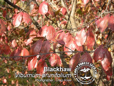 Blackhaw Leaves in Fall