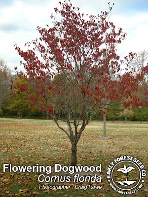 Picture Dogwood Flower on Flowering Dogwood Tree In Autumn
