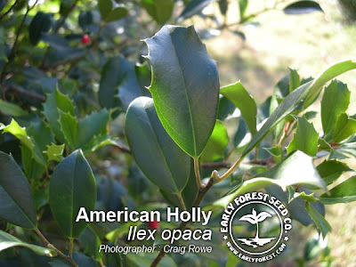 American Holly Leaves