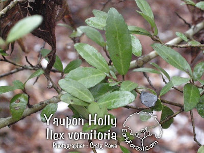 Yaupon Holly Leaf