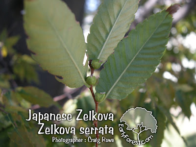 Japanese Zelkova Seeds