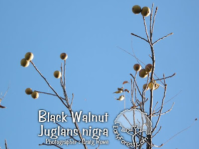 Black Walnut Fruit