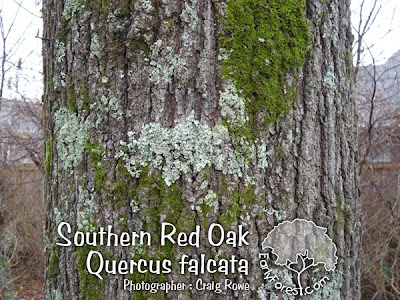 Southern Red Oak Bark