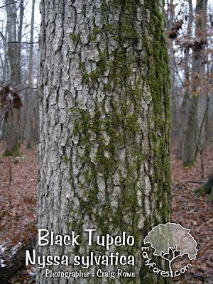 Black Tupelo Bark