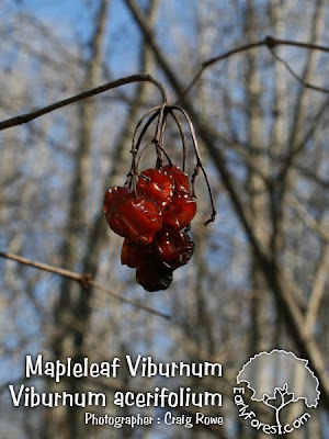 Mapleleaf Viburnum Fruit