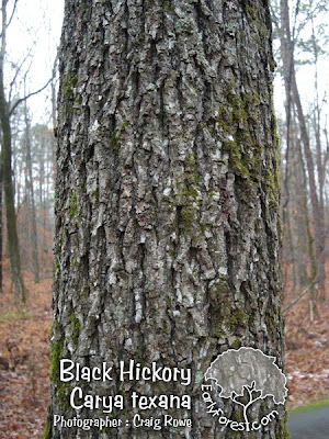 Black Hickory Bark
