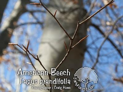 American Beech Buds