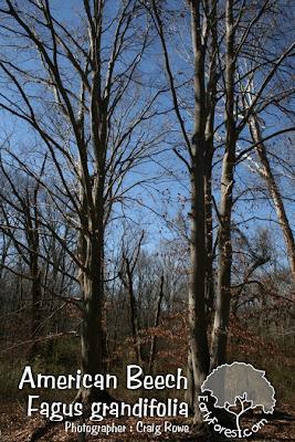 American Beech Trees