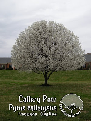 Callery Pear Tree in Bloom