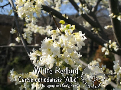 White Redbud Flowers