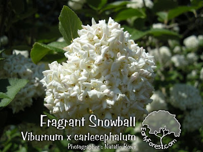 Fragrant Snowball Viburnum Flowers