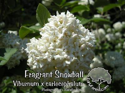 Fragrant Snowball Viburnum Flowers