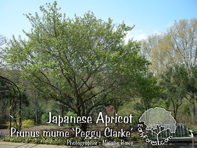 Japanese Apricot Tree