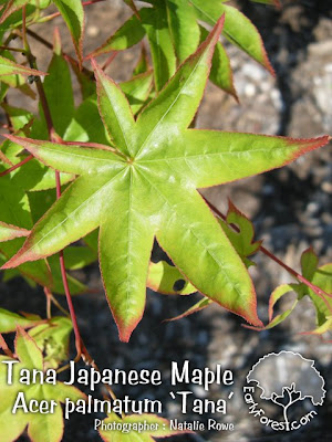 Tana Japanese Maple Leaf