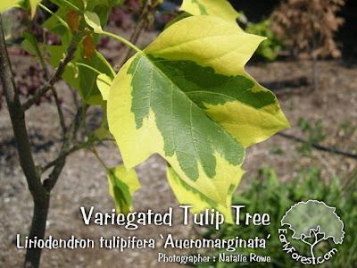 Variegated Tulip Tree Leaf