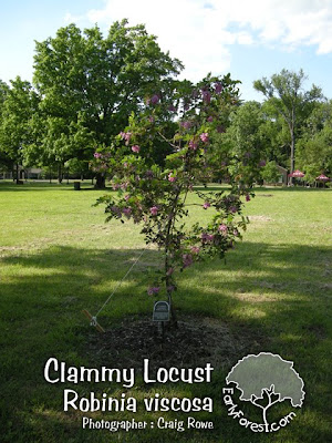 washington hawthorn tree facts. Clammy Locust Tree