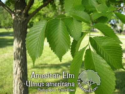 American Elm Leaves