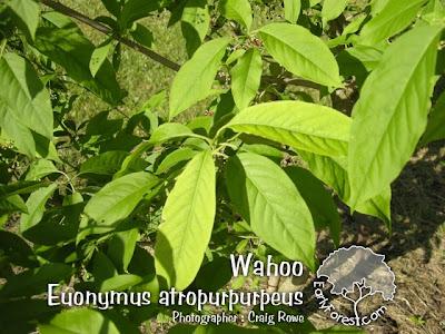 Wahoo Leaves