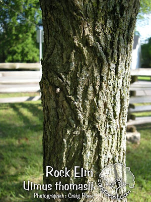 Rock Elm Bark