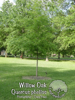 Willow Oak Tree