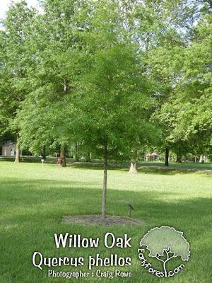 washington hawthorn tree pictures. Willow Oak Tree