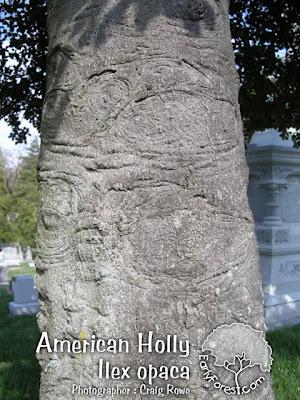 American Holly Bark