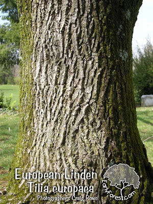European Linden Bark