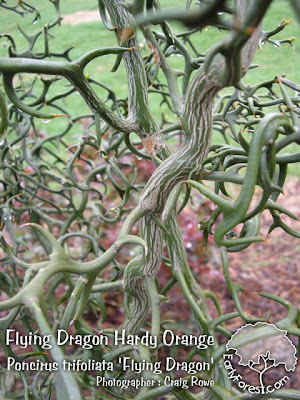 Flying Dragon Hardy Orange Branching & Thorns