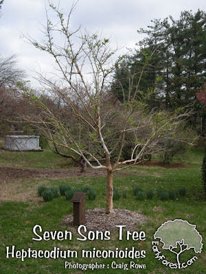 Seven Sons Tree