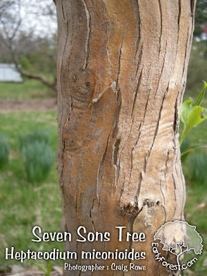 Seven Sons Tree Bark