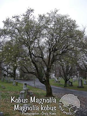 Kobus Magnolia Tree