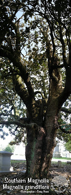 Southern Magnolia Trunk