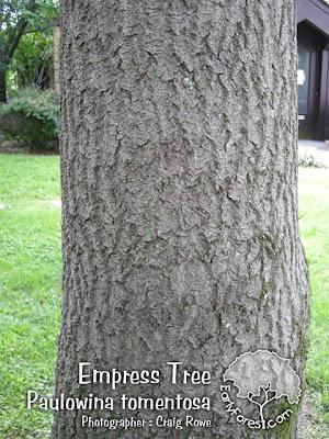 Empress Tree Bark