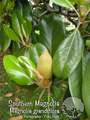 Southern Magnolia Flower Buds