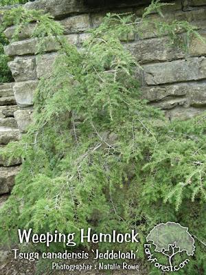Weeping Hemlock