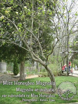 Miss Honeybee Magnolia Tree